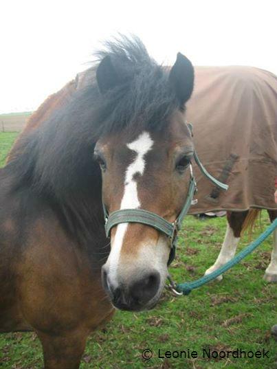 Chielte, de hoefbevangen pony